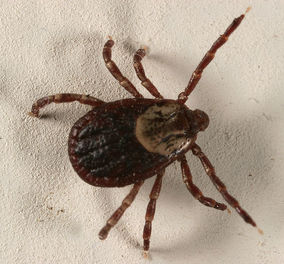 The American dog tick (Dermacentor variabilis) is common in our area, and is known to spread Rocky Mountain spotted fever and tularemia.